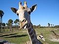 Giraffe (3317467653).jpg