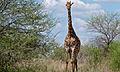 Giraffe (Giraffa camelopardalis) (6002002086).jpg