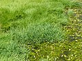 Glyceria notata plant (02).jpg
