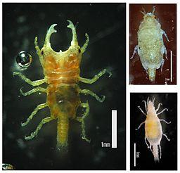 Gnathiid isopod