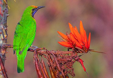 Golden-fronted Leafbird সোনাকপালি হরবোলা.jpg