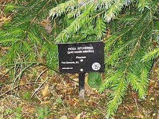 Golden Spruce UBC Botanical Garden Aug 25 2006 2.jpg