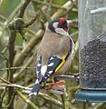 Goldfinch. Carduelis carduelis - Flickr - gailhampshire.jpg