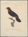Goniophea portoricensis - 1825-1834 - Print - Iconographia Zoologica - Special Collections University of Amsterdam - UBA01 IZ16000157.tif
