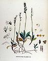 Goodyera repens — Flora Batava — Volume v17.jpg
