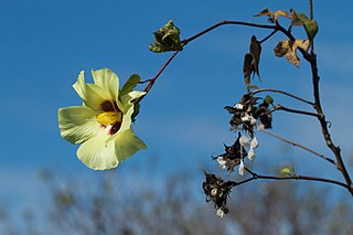 <i>Gossypium barbadense</i> Species of plant