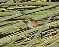 Graceful Prinia (Prinia gracilis) - Flickr - Lip Kee (1).jpg