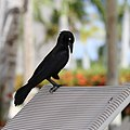 Grackle on a chair (14315970324).jpg