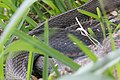 Graham's Crayfish Snake Smith Oaks High Island TX 2018-03-28 13-14-36 (26211121257).jpg