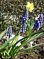 Grape hyacinth flowers.jpg
