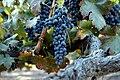 Grape of old vine shiraz 2.jpg