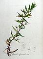 Gratiola officinalis — Flora Batava — Volume v8.jpg