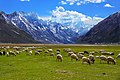 Grazing Sheep of Zanskar.jpg
