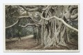 Great Banyan Tree, Palm Beach, Fla (NYPL b12647398-73860).tiff