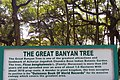 Great Banyan Tree (14824325906).jpg