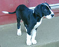 Great Dane puppy.jpg