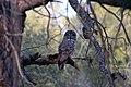 Great Gray Owl 0332 (19757343151).jpg