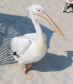 Great White Pelican at Nissi Beach.png
