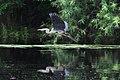 Great blue heron Tampa.jpg