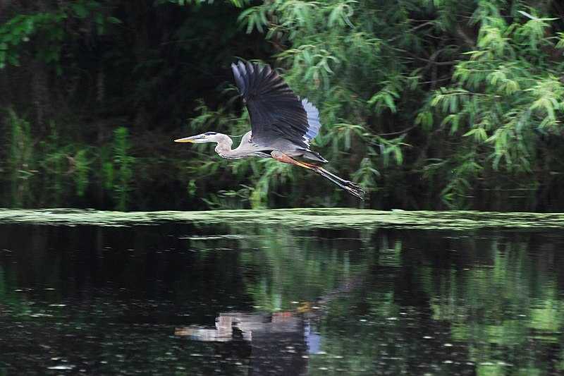 File:Great blue heron Tampa.jpg