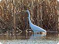 Greater Egret (6999107245).jpg