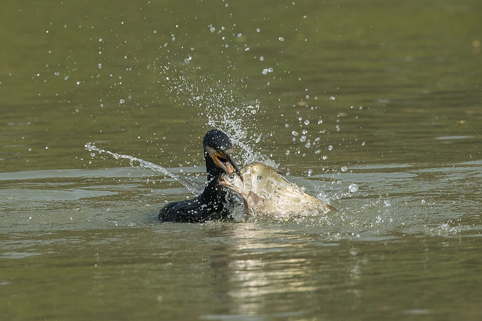 Greater cormorant in Action 02