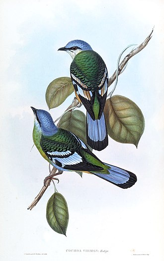 Green cochoa - Lithograph by Gould, female above