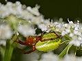 Green Orb-spider (Araniella alpica) (35562660932).jpg