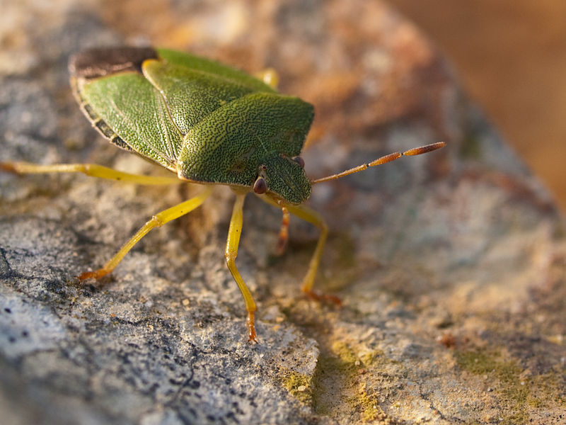 Green Shield Bug at Alligator Bay, Beauvoir, France