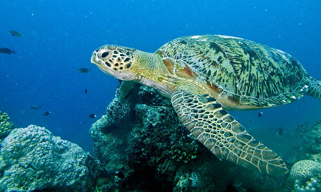 Image Result For Free Turtle Color