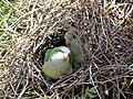 Green parrots at Parque por la Paz Villa Grimaldi - Santiago Chile - Peace Park (5278073404).jpg