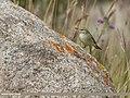 Greenish Warbler (Phylloscopus trochiloides) (50433076073).jpg
