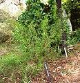 Grevillea anethifolia 2 (ANBG).jpg