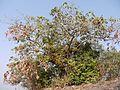 Grewia asiatica (5445062838).jpg