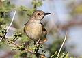 Grey-backed Camaroptera, Camaroptera brachyura, at Mapungubwe National Park, Limpopo, South Africa (18127743742).jpg
