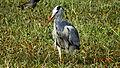 Grey heron (Ardea cinerea, Ass- আজান চৰাই).JPG