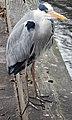 Grey heron – St. James's Park, London – (2016-12-25).jpg