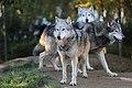 Grey wolves (11065841524).jpg