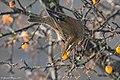 Grive mauvis. - Flickr - Ferdinand23.jpg