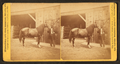 Groom and horse, from Robert N. Dennis collection of stereoscopic views 2.png