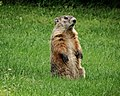 Groundhog Standing.jpg