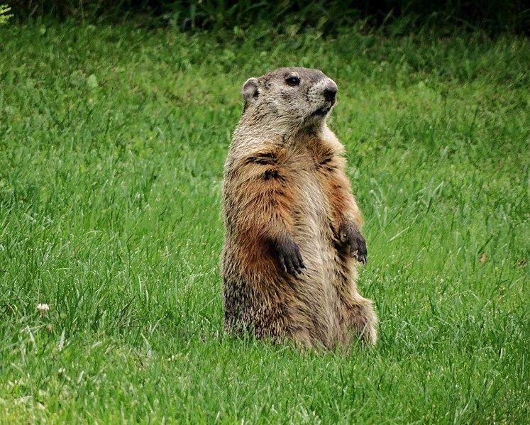 File:Groundhog Standing.jpg - Wikimedia Commons