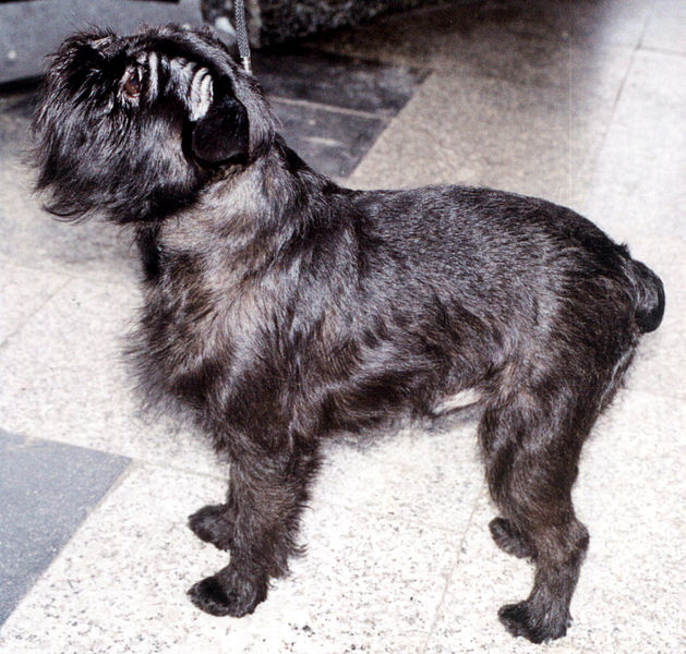Black Griffon Bruxellois Dog