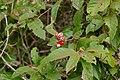 Guaraná (Paullinia cupana) (28466982734).jpg