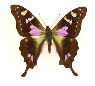 <i>Graphium weiskei</i> species of insect