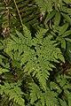 Gymnocarpium dryopteris 0314.JPG