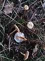 Gymnopus dryophilus gljiva.jpg