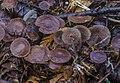 Gymnopus villosipes (Cleland) Desjardin, Halling & B.A. Perry 681406.jpg