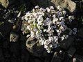Gypsophila cerastioides 3.jpg
