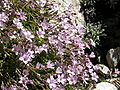 Gypsophila repens1.JPG
